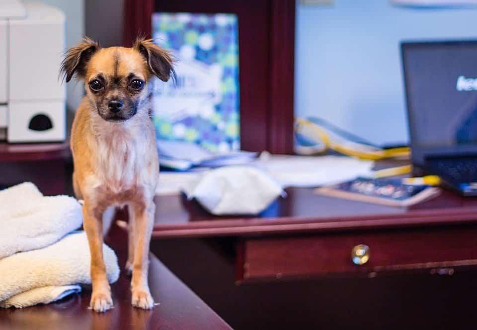 Huisdieren op kantoor